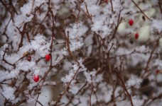 SnowfallBerries